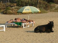 Goa, also the cow get a suntan