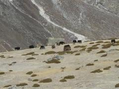 Yaks on the way to Everest Base Camp