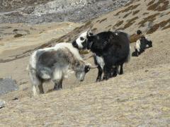 Bored yaks