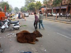 Jaipur, is it a cow?